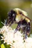 Bumble Pollen. Bumble bee pulling nectar from white flower covered in pollen Stock Image