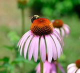 Bumble on purple coneflower Stock Photos