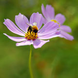 Bumble sui fiori Immagine Stock