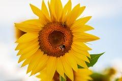 Bumblebbe, Bombus, Bombus-cryptarum, op zonnebloem die en nectar bestuiven verzamelen Stock Afbeeldingen