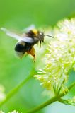 bumblebee żółty kwiat Fotografia Stock