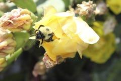 Bumblebee άνθιση Στοκ φωτογραφίες με δικαίωμα ελεύθερης χρήσης