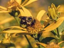Bumblebee, γραπτό επίσης τη bumble μέλισσα Στοκ Φωτογραφίες