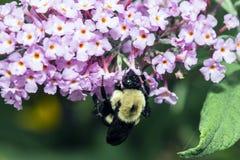 Bumblebee, γραπτό επίσης τη bumble μέλισσα Στοκ Εικόνα