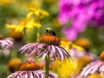 Bumblebee, γραπτό επίσης τη bumble μέλισσα Στοκ Φωτογραφία