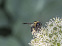 Bumblebee, γραπτό επίσης τη bumble μέλισσα Στοκ φωτογραφίες με δικαίωμα ελεύθερης χρήσης