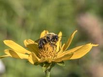 Bumblebee, γραπτό επίσης τη bumble μέλισσα Στοκ εικόνες με δικαίωμα ελεύθερης χρήσης