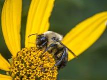Bumblebee, γραπτό επίσης τη bumble μέλισσα Στοκ εικόνα με δικαίωμα ελεύθερης χρήσης