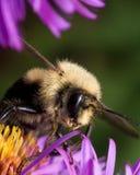 Bumblebee γύρη αποσπασμάτων από το πορφυρό λουλούδι αστέρων Στοκ φωτογραφία με δικαίωμα ελεύθερης χρήσης