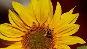 Bumblebee είναι σε ένα λουλούδι ενός ηλίανθου απόθεμα βίντεο