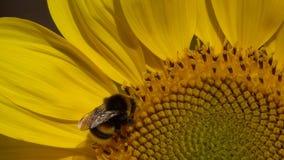 Bumblebee είναι σε ένα λουλούδι ενός ηλίανθου φιλμ μικρού μήκους