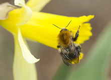 Bumblebee εντόμων Στοκ Φωτογραφία