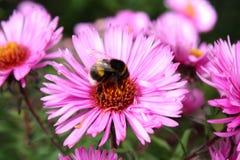 bumblebee εργαζόμενος Στοκ Εικόνες