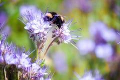 Bumblebee η συνεδρίαση σε ένα λουλούδι και συλλέγει το νέκταρ Στοκ Εικόνες