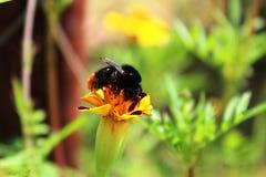 Bumblebee κάθεται σε ένα marigold λουλούδι στοκ εικόνα