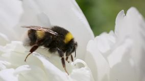 Bumblebee κάθεται σε ένα peony λουλούδι και θερμαίνει μετά από μια κρύα νύχτα απόθεμα βίντεο