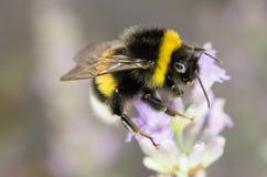 Bumblebee κήπων Στοκ Εικόνες