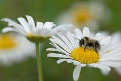 Bumblebee και η ox-eye μαργαρίτα Στοκ Φωτογραφία