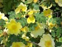 Bumblebee και κίτρινα λουλούδια Στοκ Εικόνες