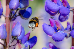 Bumblebee και μύγα Στοκ Εικόνες