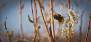 Bumblebee κατά την πτήση, Bumblebee στη συγκομιδή της γύρης Στοκ φωτογραφία με δικαίωμα ελεύθερης χρήσης