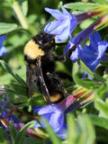 Bumblebee Καλιφόρνιας - californicus Bombus Στοκ Φωτογραφίες