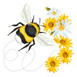 Bumblebee κεφάλι κινηματογραφήσεων σε πρώτο πλάνο, στροβιλισμένη ίχνος γραμμή arnica υποβάθρου chamomile Στοκ φωτογραφίες με δικαίωμα ελεύθερης χρήσης