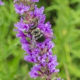 Bumblebee κινηματογράφηση σε πρώτο πλάνο Στοκ Φωτογραφίες