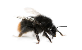 bumblebee κόκκινο που παρακολ&omicron Στοκ φωτογραφία με δικαίωμα ελεύθερης χρήσης