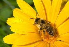 bumblebee λουλούδι κίτρινο Στοκ εικόνα με δικαίωμα ελεύθερης χρήσης