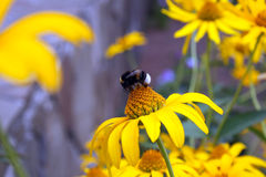 bumblebee λουλούδι κίτρινο Στοκ Εικόνες