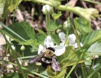 Bumblebee, λουλούδι, λευκό, εξωτερικό, γονιμοποίηση Στοκ Φωτογραφίες