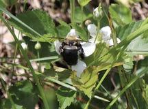 Bumblebee, λουλούδι, λευκό, εξωτερικό, γονιμοποίηση Στοκ εικόνες με δικαίωμα ελεύθερης χρήσης