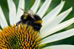 bumblebee λουλούδι Στοκ φωτογραφία με δικαίωμα ελεύθερης χρήσης