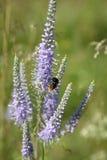 bumblebee λουλούδι Στοκ Φωτογραφία