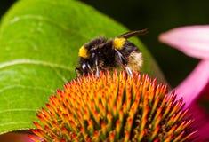 Bumblebee λουλούδι echinacea επικονίασης Στοκ εικόνες με δικαίωμα ελεύθερης χρήσης