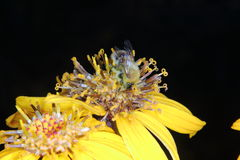 bumblebee Λουλούδι Στοκ Εικόνες