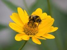 bumblebee μακροεντολή στοκ εικόνες