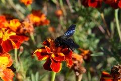 bumblebee μακροεντολή Στοκ φωτογραφία με δικαίωμα ελεύθερης χρήσης