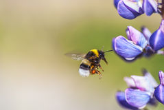 bumblebee μεγάλο Στοκ φωτογραφία με δικαίωμα ελεύθερης χρήσης