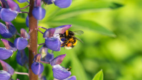 Bumblebee με ένα πορφυρό lupine Στοκ εικόνες με δικαίωμα ελεύθερης χρήσης