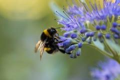 Bumblebee με το μπλε λουλούδι/την άνθιση στοκ εικόνα με δικαίωμα ελεύθερης χρήσης