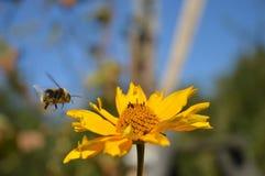 Bumblebee μύγες Στοκ εικόνες με δικαίωμα ελεύθερης χρήσης