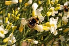 Bumblebee να ταΐσει με το νέκταρ στοκ φωτογραφία με δικαίωμα ελεύθερης χρήσης
