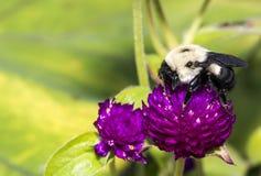 Bumblebee να ταΐσει με το λουλούδι Στοκ Εικόνες
