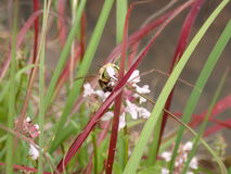 Bumblebee να τσιμπάσει Στοκ εικόνα με δικαίωμα ελεύθερης χρήσης