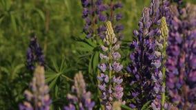 Bumblebee λουλούδι Ιούνιος λούπινων απόθεμα βίντεο