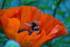 Bumblebee πέταγμα Στοκ φωτογραφία με δικαίωμα ελεύθερης χρήσης