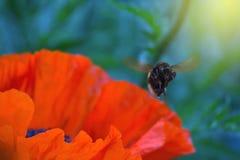 Bumblebee πέταγμα Στοκ εικόνα με δικαίωμα ελεύθερης χρήσης