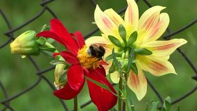 Bumblebee πετά από τις ντάλιες λουλουδιών απόθεμα βίντεο